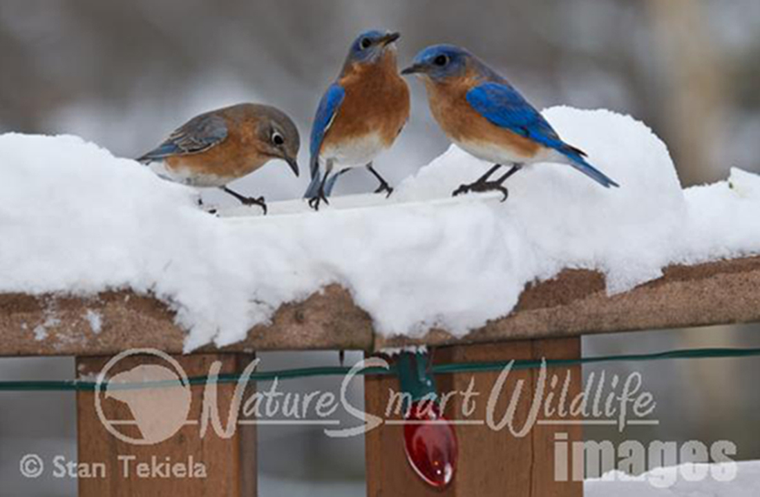 Bluebirds in winter