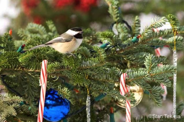 Chickadee on a Christmas Tree