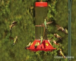 Hummingbirds at feeder