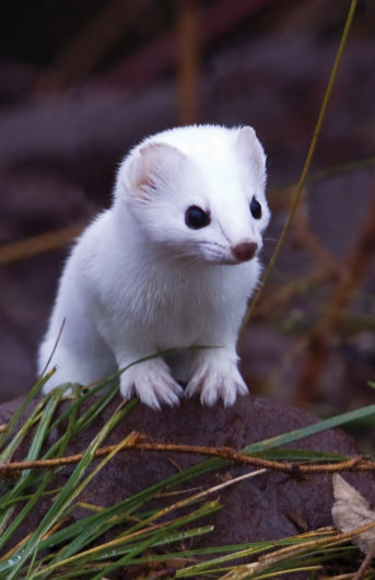 Short-Tailed Weasel Blank Journal