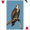 Raptors Playing Cards